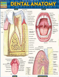 Dental Anatomy PDF Free
